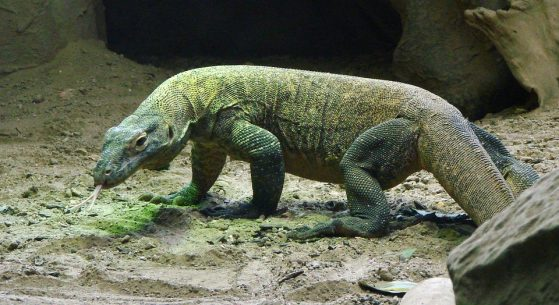 image of komodo dragon