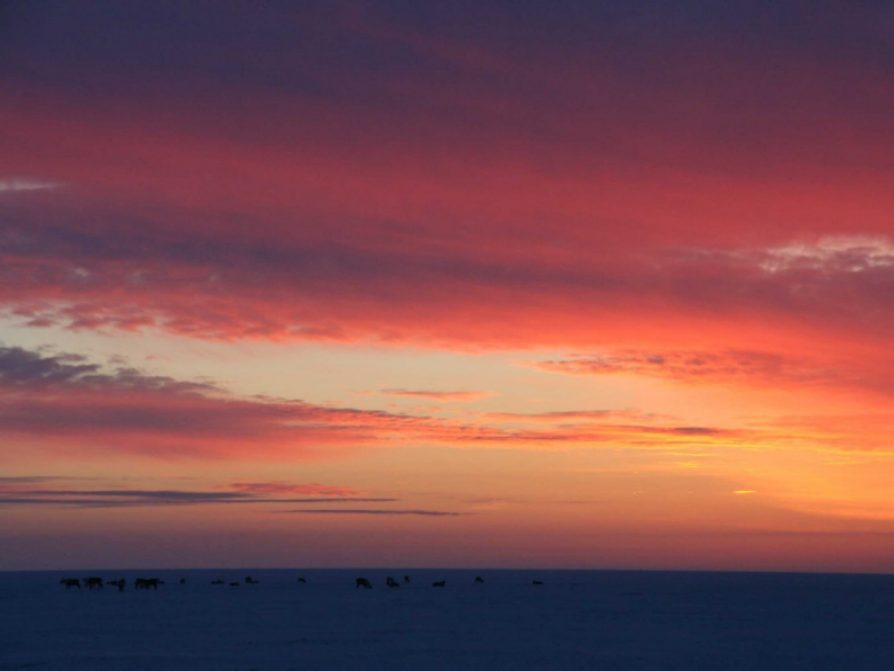 Sun over a caribou herd on the Arctic tundra
