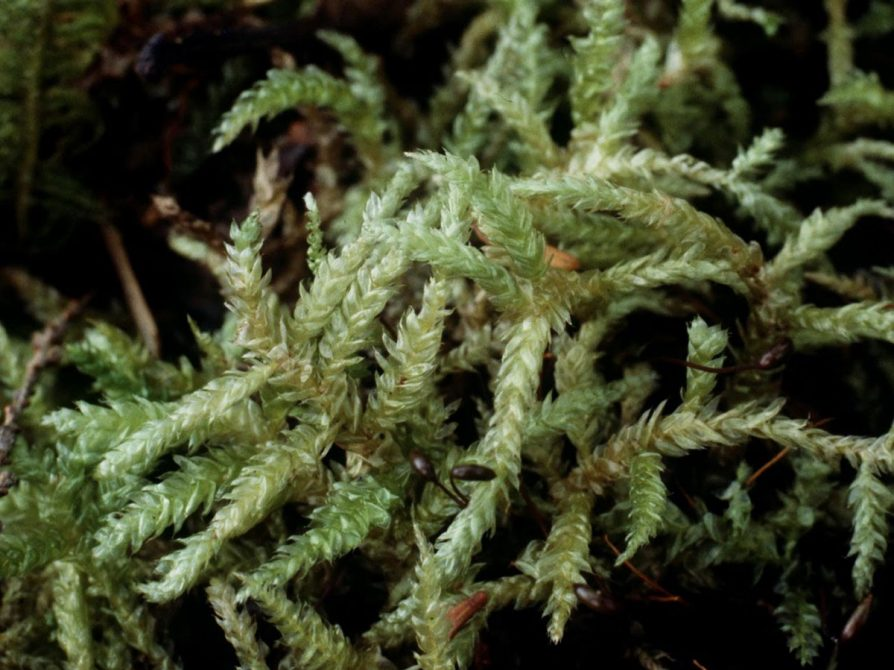 Featured Moss Specimen