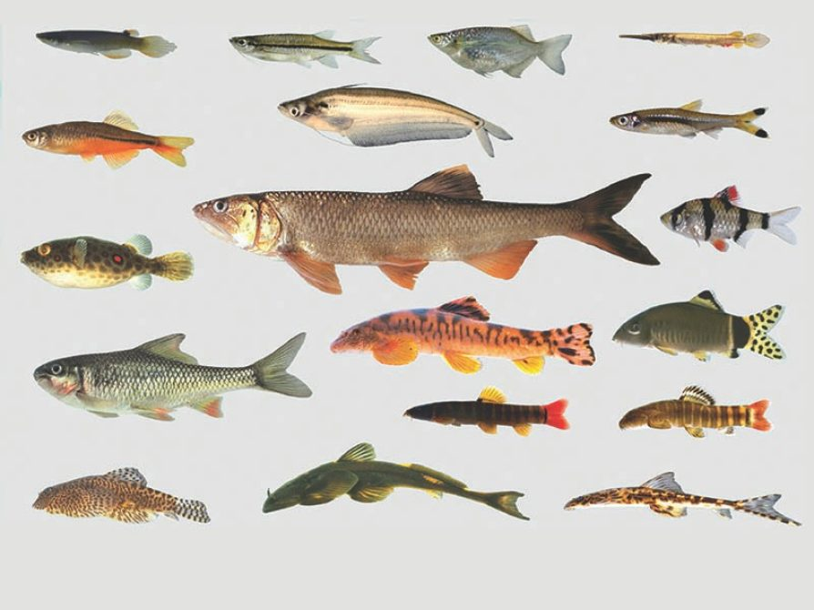 Division of Fishes