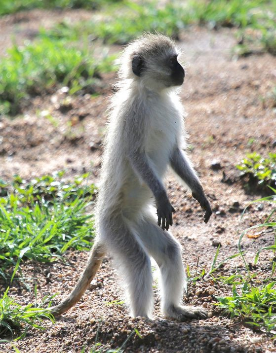 A most attentive vervet monkey in the Serengeti, Tanzania