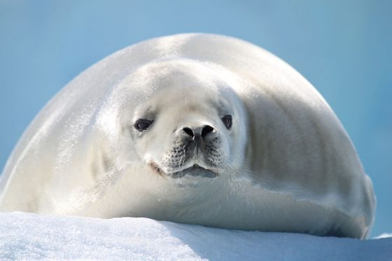 Crabeater seal enjoying the sun while resting on an antarctic iceberg.
