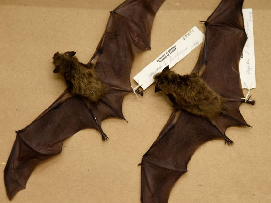 Preserved bat skins at the Research Museums Center at University of Michigan's Museum of Zoology.