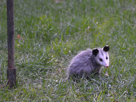 An opossum foraging under a bird feeder in Dublin, Ohio.