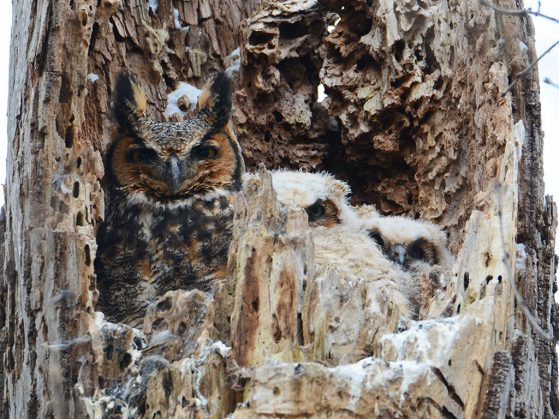 An owl with two owlets peering out from their nest in the partly hollowed out tree trunk. Their coloring blends in with the tree.