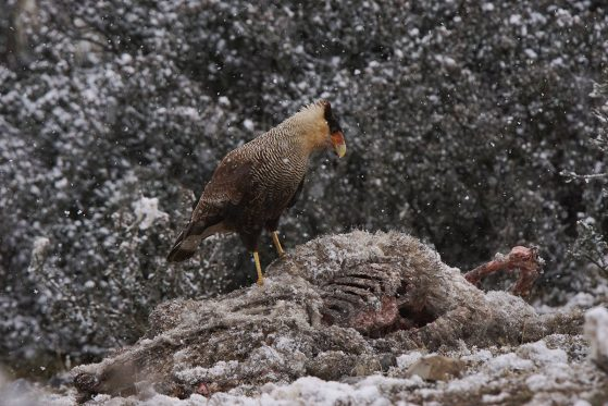 A southern crested caracara perched on top of a sheep carcass, with light snow on the trees and ground and falling snow around it.