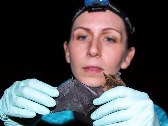 U-M doctoral student Giorgia Auteri inspects the wing of a healthy big brown bat, one of the species known to be affected by white-nose syndrome.