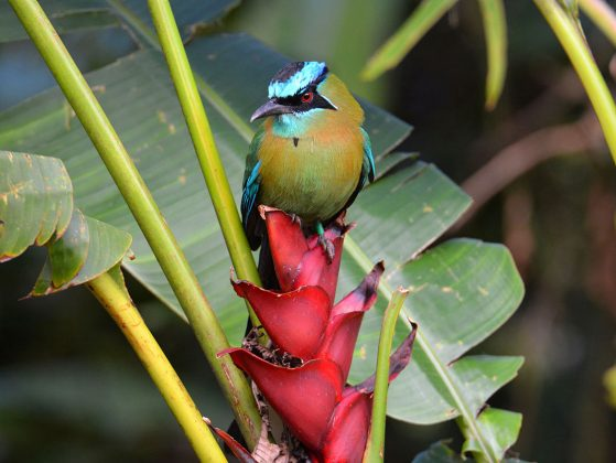 """Lesson's Motmot (Momotus lessonii) on a Heliconia Plant,"" San Luis de Monteverde, Costa Rica. This beautifully adorned, showy bird is stops by to help show off our amazing graduate students. Image: John David Curlis."