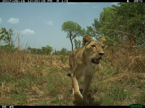 Lioness caught by camera capture in the W-Arly-Pendjari (WAP) Complex of Burkina Faso and Niger, Africa.