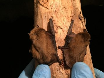 Nathusius' pipistrelle bat (Pipistrellus nathusii, left) and common pipistrelle bat (P. pipistrellus, right) captured in Azerbaijan. These two species of pipistrelle bats are difficult to identify in the field based on morphology alone. Photo by Nijat Hasanov.
