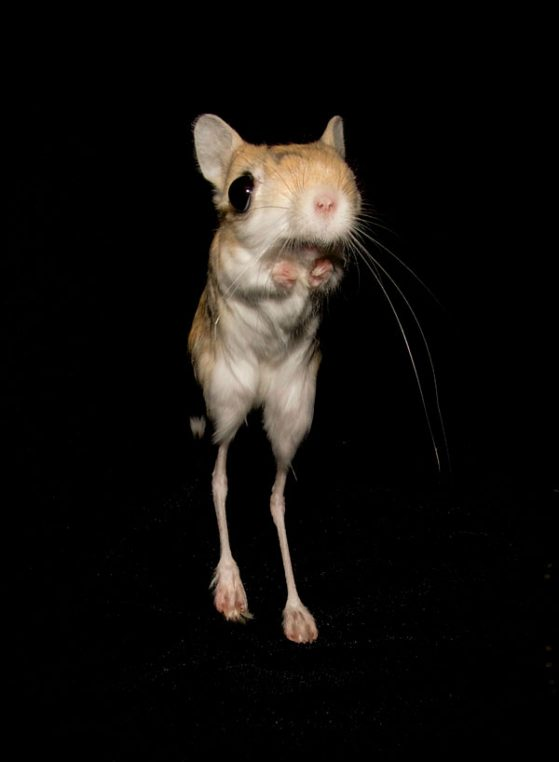 A bipedal jerboa, one of the rodent species included in a study of unpredictability in animal movements. Image credit: Haydee Gutierrez