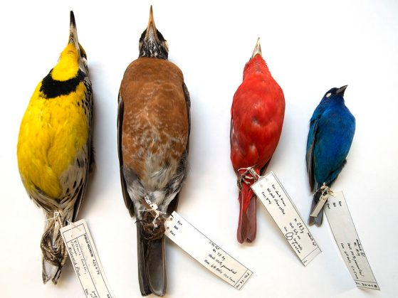 Some of the birds collected at Chicago's McCormick Place that are in the Field Museum collections, including an eastern meadowlark (far left) and an indigo bunting (far right). (c) Field Museum, Karen Bean.