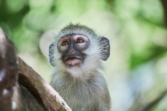 Honorable mention: Monkeying around with Vervets, Mombasa, Kenya, Molly Hirst
