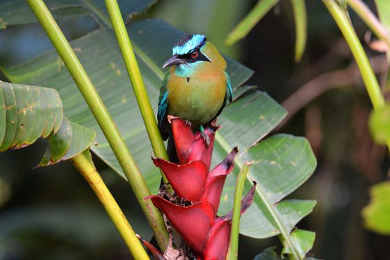 Honorable mention: Lesson's Motmot (Momotus lessonii) on a Heliconia Plant, San Luis de Monteverde, Costa Rica, John David Curlis