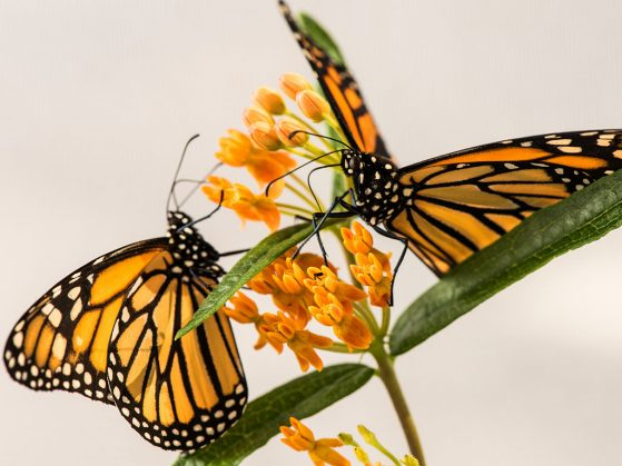 Two monarch butterflies on a milkweed plant in a University of Michigan laboratory.