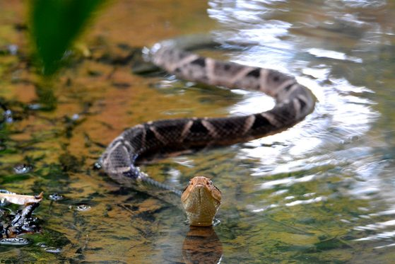 "Honorable mention: ""Fer-de-lance,"" John David Curlis. A snake coming toward the camera in the water with head up"