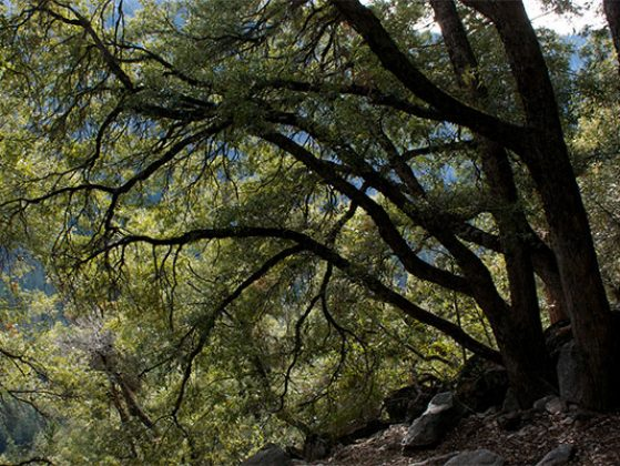 Canyon live oak canopy from flickr user Laura Camp.