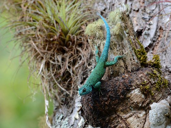 A luminous blue-green lizard stopped by to call attention to this impressive list of accolades. The Emerald of the Cloud Forest, Cusuco National Park, Honduras. Image: John David Curlis.