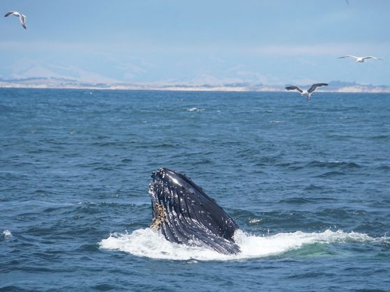 This humpback whale surfaced to share its huge congratulations. Megaptera Feast, Monterey, Calif. Image: Zhengting Zou
