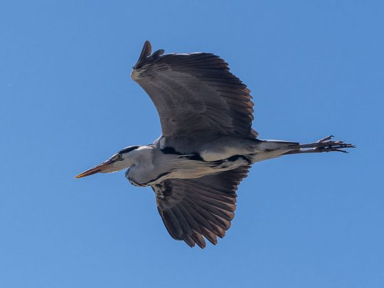 A great blue heron flyover to celebrate our graduate students! In-flight posture, Hook of Holland. Image: Marc Ammerlaan