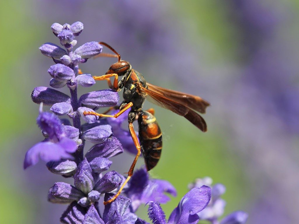 A Polistes fuscatus paper wasp on a flower.