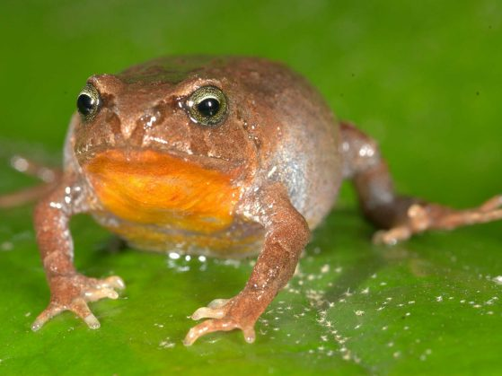 Bryophryne hanssaueri is one of the 22 species included in the Peruvian frog study. Image credit: Alessandro Catenazzi