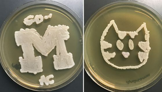 Students created designs using genetically modified yeasts. One says Go with a block M, the other looks like the face of a cat.