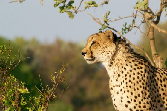 An outdoor photograph of a cheetah in profile.