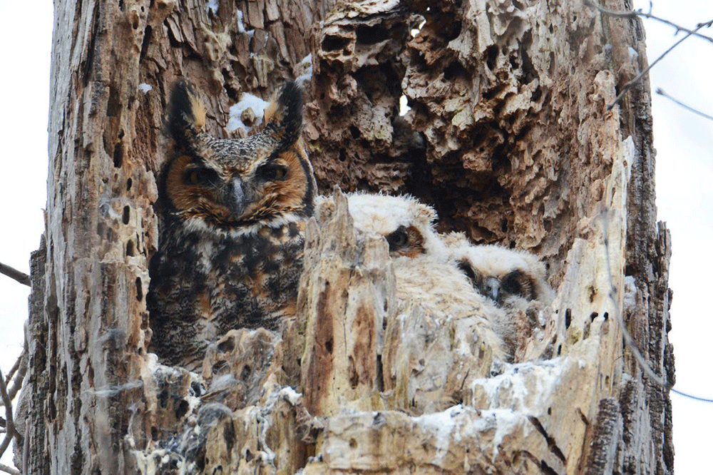 Owls camouflaged in a tree