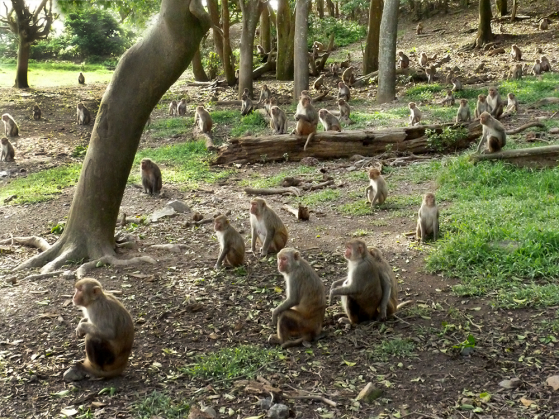 A photograph of a large group of Rhesus Macaque monkey on Cayo Santiago