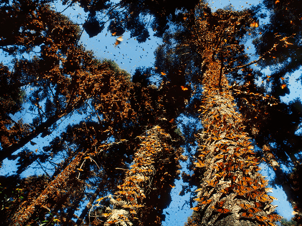 A photograph of a tree whose trunk is covered in monarch butterflies