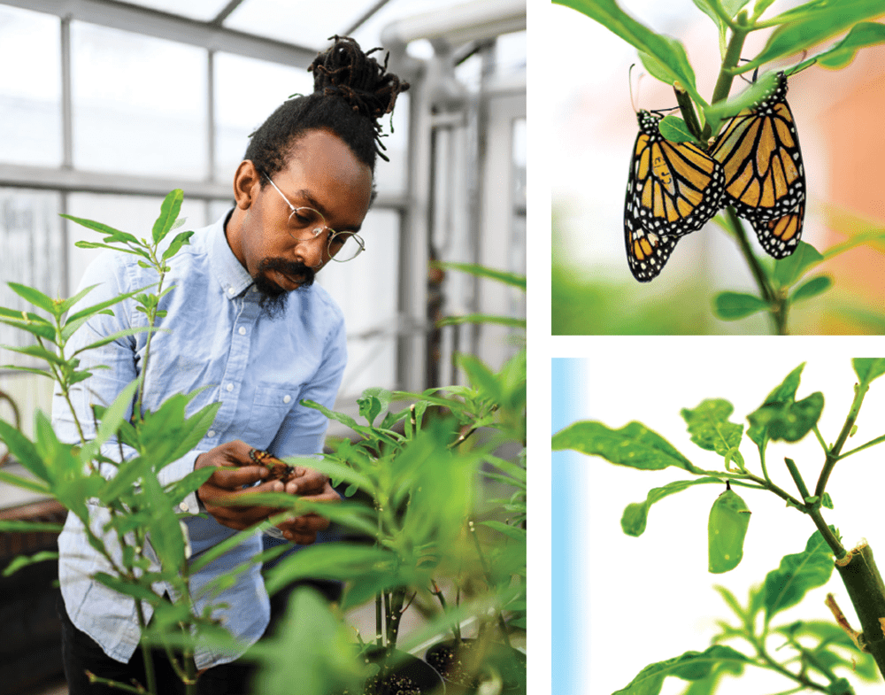 A composite of three photos. 1. Green handling a monarch 2. two monarchs attached to milkweed 3. milkweed