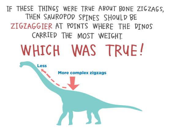 If these things were true about bone zigzags, then sauropod spines should be zigzaggier at points where the dinos carried the most weight. Which was true!
