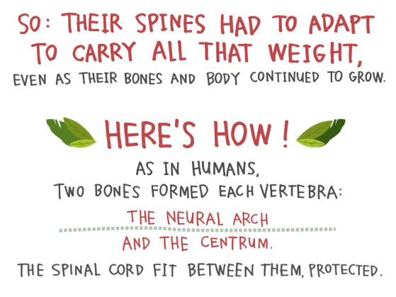 So: Their spines had to adapt to carry all that weight, even as their bones and body continued to grow. Here's how! As in humans, two bones formed each vertebra: the neural arch and the centrum. The spinal cord fit between them, protected.