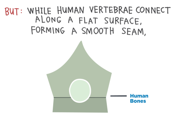 But: While human vertebrae connect along a flat surface, forming a smooth seam...