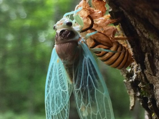 A nearly emerged cicada bug clings to its exoskeleton.