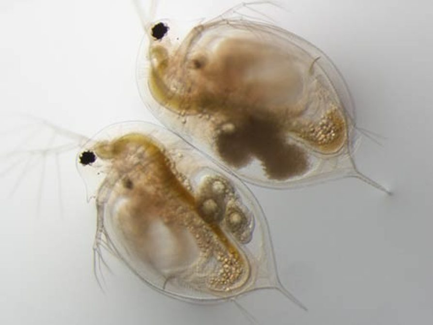 daphnia_infected_and_not_web