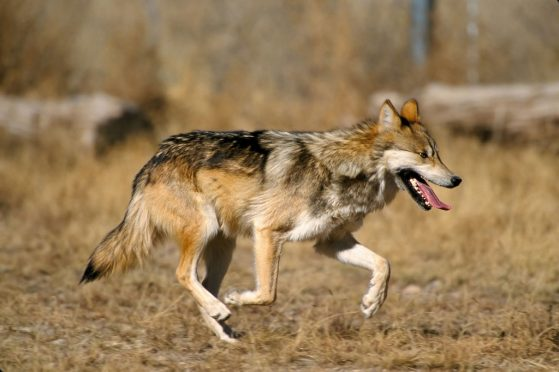 A Mexican gray wolf running