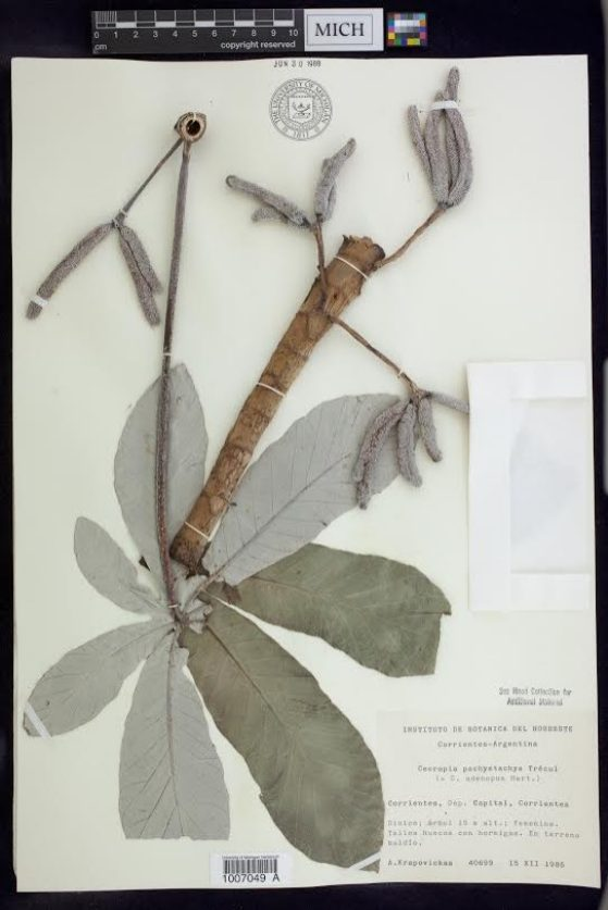A voucher for one of the wood samples, Cecropia pachystachya, showing a leaf and fruits, collected in Argentina in 1986.