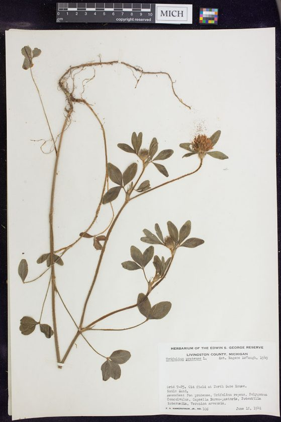 Trifolium pratense collected in Livingston County, Mich., in June 1941 by F.N. Hamerstrom, Jr.