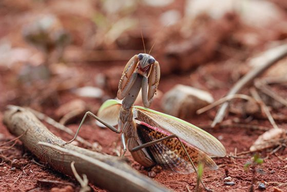 3rd place! Botanist vs. Mantis by Jianjun Jin. Kunming, Yunnan, China.