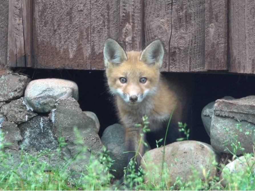 Screenshot of a young fox from the video by San Pedro River Videos, Michael Foster.