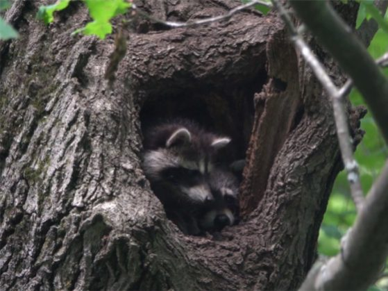 "Screenshot of 2 raccoons in a hole of a tree from ""Three Michigan Vines,"" a San Pedro River Videos production by Mike Foster"