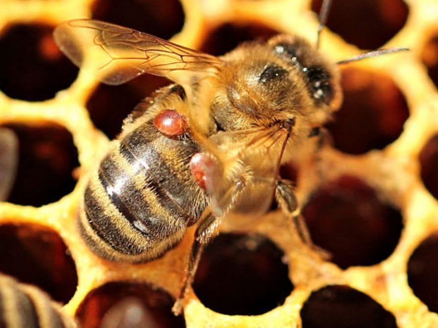 Bee with mites on honeycomb