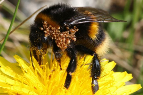 Bumblebee queen carrying phoretic stages of mites of the genus Parasitellus. Image credit: photo © Alan Smith.