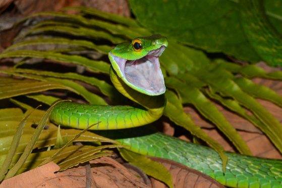 Second place: A Very Happy or Very Angry Parrotsnake (Leptophis ahaetula), Cusuco National Park, Honduras, John David Curlis