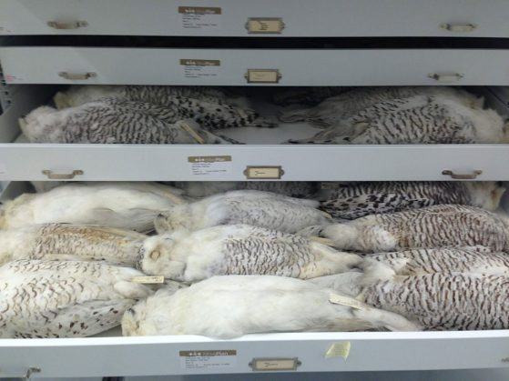 Drawers of snowy owls