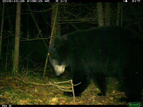A black bear makes a cameo appearance at the U-M Biological Station