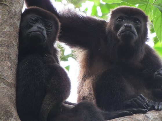 Two mantled howler monkey females with babies.