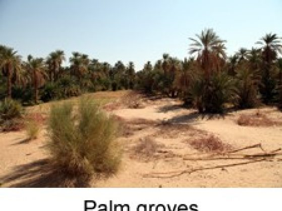 Palm groves